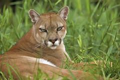Puma (sleepy beauty) (Erick Loitiere) Tags: puma guyane frenchguiana guyanefranaise macouria mywinners canonef300mmf28lis parcanimalier montsinnery