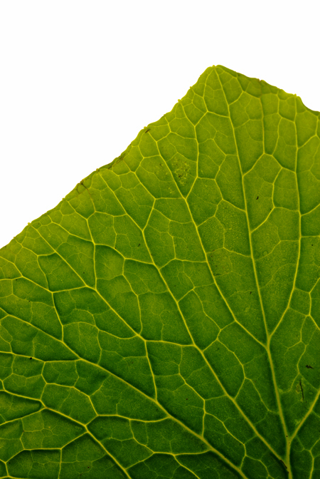 wasabi leaf© by Haalo