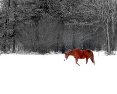 Walking in the Snow (**Ms Judi**) Tags: trees winter horse snow cold tree love beautiful wisconsin walking cool midwest pretty branch artistic branches awesome snowing lovely magical peshtigo delightful winterscene enchanting msjudi peshtigowisconsin judistevenson