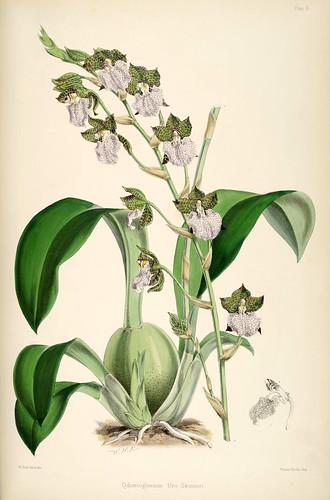 024-Odontoglossum Uro-Skinneri