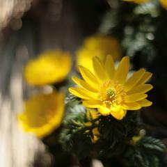 winter light in Tokyo ...#1 (_nejire_) Tags: plant flower macro green nature yellow japan canon eos 50mm flora kiss bokeh canonef50mmf18 explore 東京 korakuen 50mmf18 koishikawakorakuen naturesfinest 小石川後楽園 230pm fave20 niftyfifty 10faves 20faves 25faves nejire 400d bokehlicious mywinners eos400d canoneos400d kissx fave10 フクジュソウ citrit adonisramosa vosplusbellesphotos mhashi fave25 142247g800am 11120337g1015pm