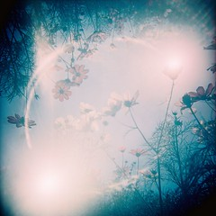 A Magic For You (Fabienne Lin) Tags: flowers light 120 film nature holga lomo lomography blossom double squareformat bloom fujifilm filmcamera cosmos blooming rdp holgagraphy fujiprovia 120gcnf holga120gcnf