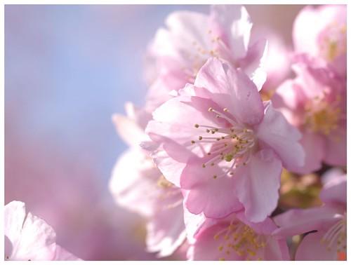 Cherry blossoms 090305 #11