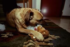 the Death of a plush lion. (Andrea // AT Graphics!) Tags: dog pet house animal cane canon happy death pics room flash lion wideangle eat killer doggy hungry ultrawide 11mm grandangolo f28 plushtoy speedlite420ex canonflash canoniani atgraphics andreatallone tokina1116mmf28