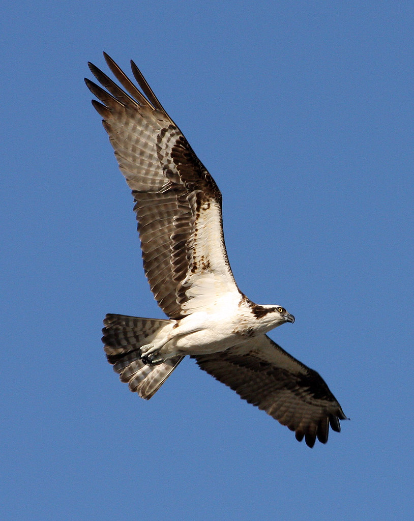 Osprey Land! On My Way Home From Work!
