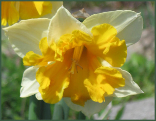 04 narcissus sunshine