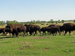 May The Buffalo Roam (Roofer 1) Tags: fab buffalo escape searchthebest soe naturesfinest flickrsbest bej anawesomeshot impressedbeauty flickrdiamond