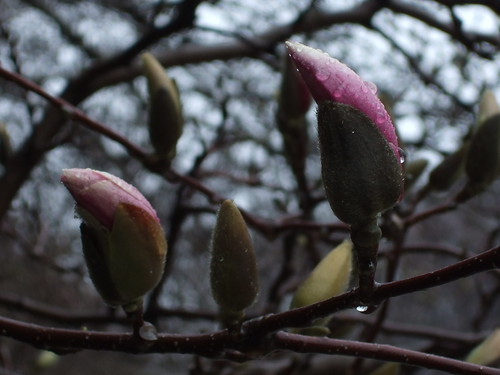 Magnolia buds 1 by Simba tango, on Flickr