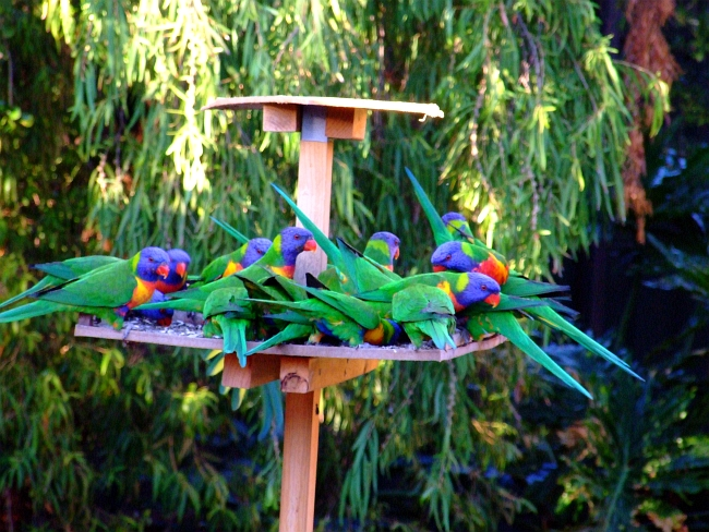 even more lorikeets