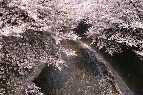 桜散りつつある