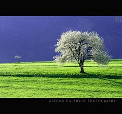 b i g . b r o t h e r . ? (gregor H) Tags: morning trees tree spring blossom liechtenstein bigbrother eschen treesubject thesecretlifeoftrees