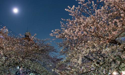 Sakura in Naka Meguro 14