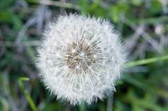 Dandelion-8 (EDBW) Tags: white plant flower macro iso3200 f14 dandelion 60mm nikkor 3200 lightroom macrolens d300 1160 wishingflower