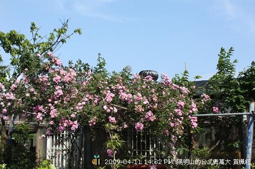 09.04.11 漂亮的爬藤薔薇@陽明山 (5)