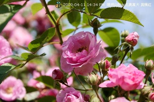 09.04.11 漂亮的爬藤薔薇@陽明山 (8)