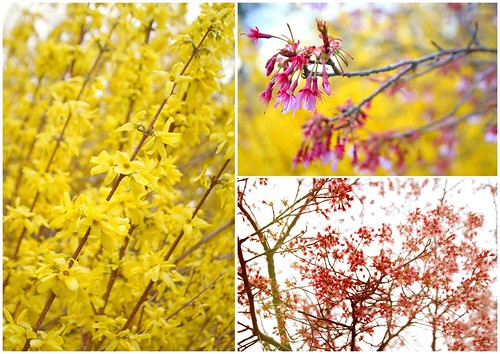 Forsythia and cherries