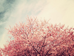 cherry bloom drift (rocketcandy) Tags: pink flowers blue sky canada flower tree nature vancouver vintage cherry dance spring branch afternoon blossom dream windy petal cuddle cherryblossom imagination sakura loves fade 365 2009 breezy springtime drift 365days 365project