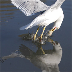 ~ Bait the Bird ~ (ViaMoi) Tags: bird water photo blog photos action seagull gull swoop avian dunk viamoi wwwviamoicom