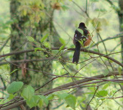Back view of a Towhee (drtnnails) Tags: orange black woods towhee
