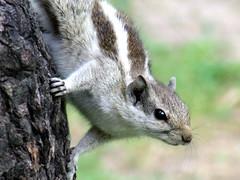 Squerri Squirel (pamma69) Tags: india nature animals punjab ludhiana platinumheartaward