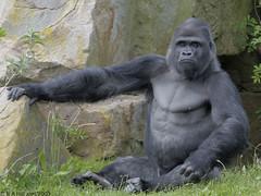 Bukavu on gorilla island (gentle lemur) Tags: gorillagorilla blackpoolzoo
