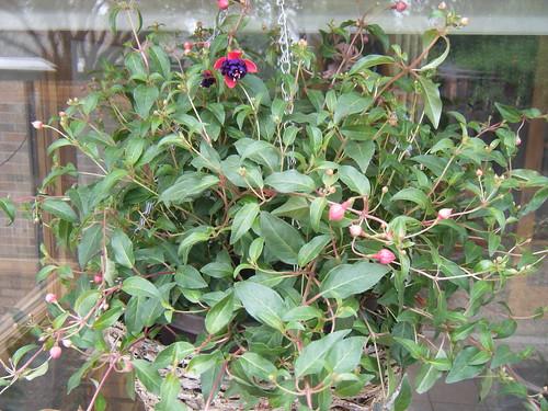 Fucia plant picture