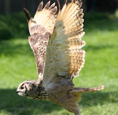 Flying Owl (Heaven`s Gate (John)) Tags: england bird nature birds wings eagle flight beak feathers shakespeare william owl bengal stratforduponavon birdofprey falconry 50faves 10faves 25faves johndalkin heavensgatejohn bubobengalensis rockeagleowl flyingowl vosplusbellesphotos maryardensfarm