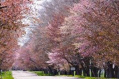 西舎の桜並木