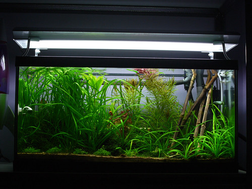 fish aquarium tank shrimp drop bamboo 105 hc checker diffuser arcadia freshwater co2 planted t8 injected rotala 80cm fluval macrandra spraybar