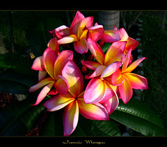 Rare Flowers - The Plumeria Jeannie Moragne (mad plumerian) Tags: flowers thailand hawaii rainbow florida plumeria exotic hawaiian frangipani rare tropicals tropicalflowers hybrids rareplant rareplants exoticflowers canona620 flowersinbloom rareflowers rareplantsflowers hybridflowers lelavadee