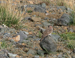 Horned Lark / چکاوک شاخدار (Mehdi Kavousian) Tags: mountain bird iran ایران alborz پرنده hornedlark کوه eremophilaalpestris eremophila البرز kahar چکاوک پرندهنگری kaharmount above4000m birdwatchinglark چکاوکشاخدار البرزمرکزی کهار