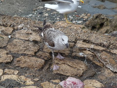 Yellow-legged Gull (per.gustafsson) Tags: marocko