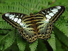 Clipper (Parthenos sylvia) (EricK_1968) Tags: butterfly clipper emmen vlinder parthenossylvia papillion wow1 wow2 wow3 wow4 lilacinus tamron24135mmsp mygearandmepremium mygearandmebronze mygearandmesilver mygearandmegold mygearandmeplatinum mygearandmediamond artistoftheyearlevel3 flickrstruereflection1 flickrstruereflection2 flickrstruereflection3 flickrstruereflection4 flickrstruereflection5 flickrstruereflection6 flickrstruereflection7 flickrstruereflectionexcellence