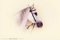 Horse 3 ( ) Tags: horse 1 eyas