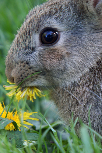 Young Wild Rabbit eating dandelion flower, Leighton Moss RSPB May 2009