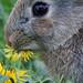 Young Wild Rabbit eating dandelion flower, Leighton Moss RSPB May 2009