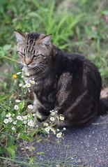 Flower Child (Just George 2) Tags: flowers portrait cat feline chat dof bokeh tabby kitty greeneyes gato kitteh bobby katze gatto gs kedi matou eartufts canonef85mmf12liiusm canoneos5dmarkii tuftedears canon85mmf12lopen