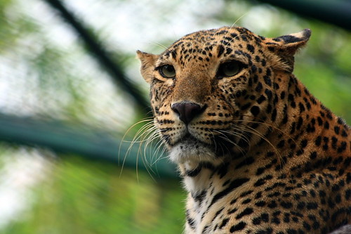 Jaguar :The wild cat by AgniMax