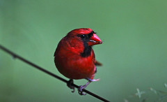 Cardinal having a snack