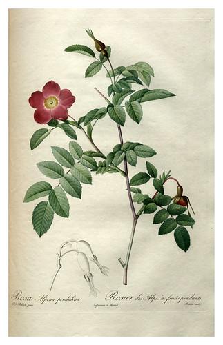 006-Les roses 1817-1824- Pierre-Joseph Redouté
