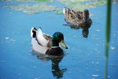 The Couple (Namisan) Tags: vienna wien blue love water birds austria duck pond couple paar mallard danube mallards donau mallardduck wildbirds stockente wildente