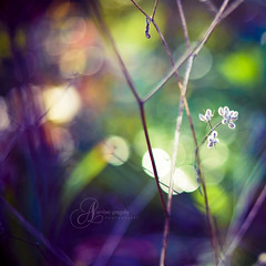 It comes on like a flower from the earth (amber {in the shadow of za'ha'dum}) Tags: winter berkeley bokeh january explore canon5d 2009 50mmf18 natureycrap infinestyle michelleblackactions gorgeousgreenthursday bokehwednesdayhangover