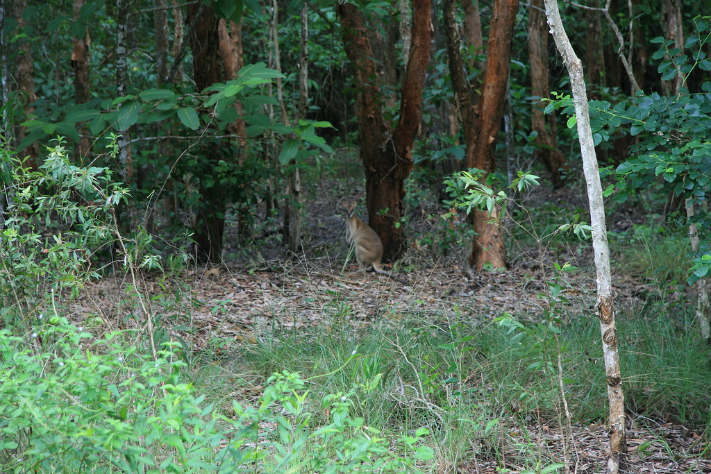 Wallaby at Fogg Dam
