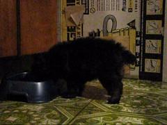 Our Little Gizmo eating. (Jenni Reynolds-Kebler) Tags: dog pet puppy friend poodle 100views 200views pal pomeranian gizmo goodtothelastdrop pomadoodle