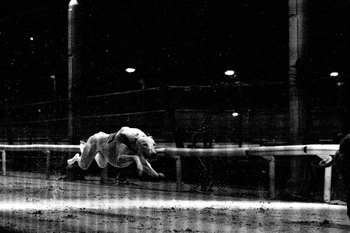 Greyhound crossing the finish line