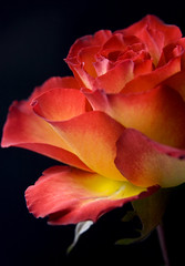 The Simple Beauty of a Rose (Theresa Elvin) Tags: red black macro rose yellow background bloom flowe explored goldstaraward