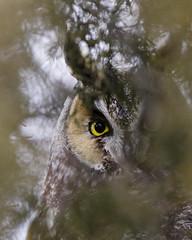 Long Eared Owl (Dah Professor) Tags: kh0831 nj bird animalportrait birdseyeview