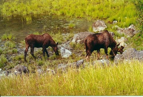 moose-on-turnagain