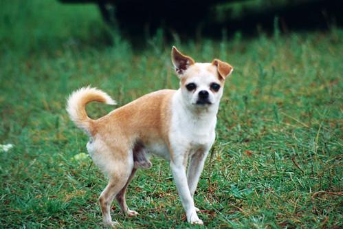 old dog pet chihuahua film minolta kodak perro negativo mascota película