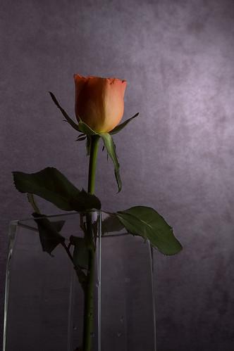 single rose  (2)